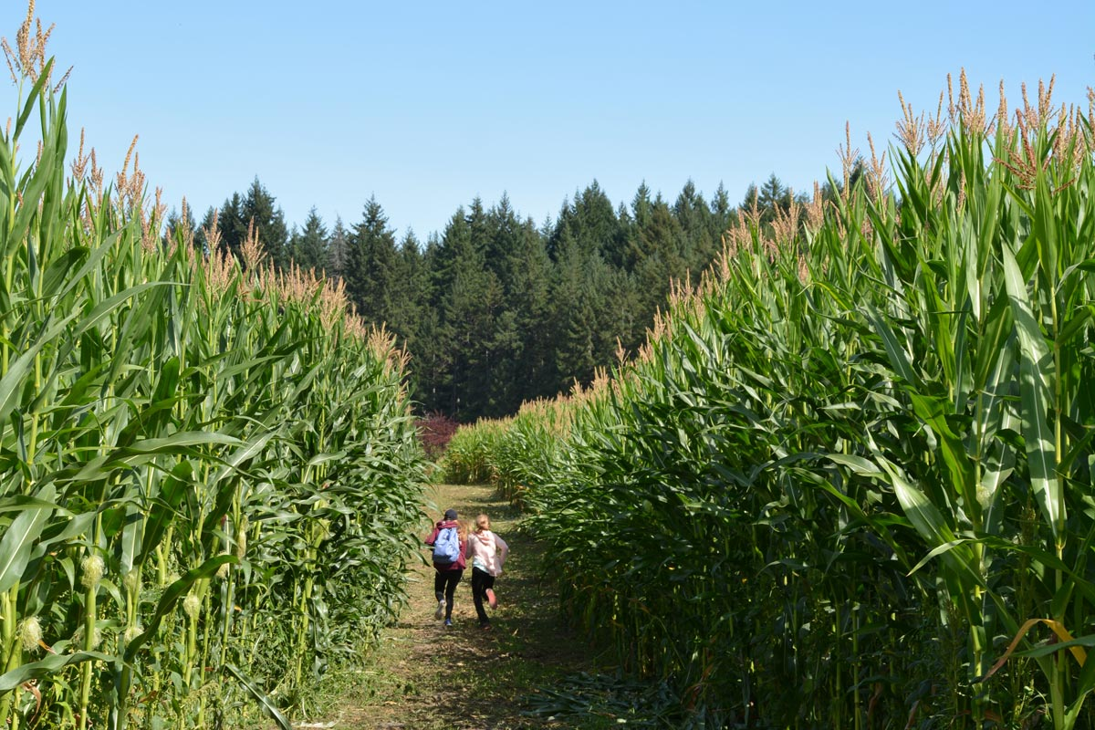 A pair of students finding their way through the 2017 corn maze
