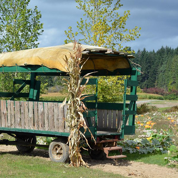 An empty hay wagon posed in front of a large pumpkin patch