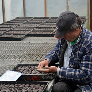 Murray McNab, planting 10,000 peat pellets of pumpkins by hand