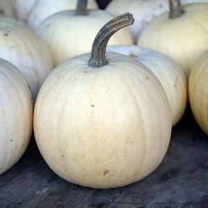 White-fleshed blanco variety pumpkin at McNab's Corn Maze & Produce Farm