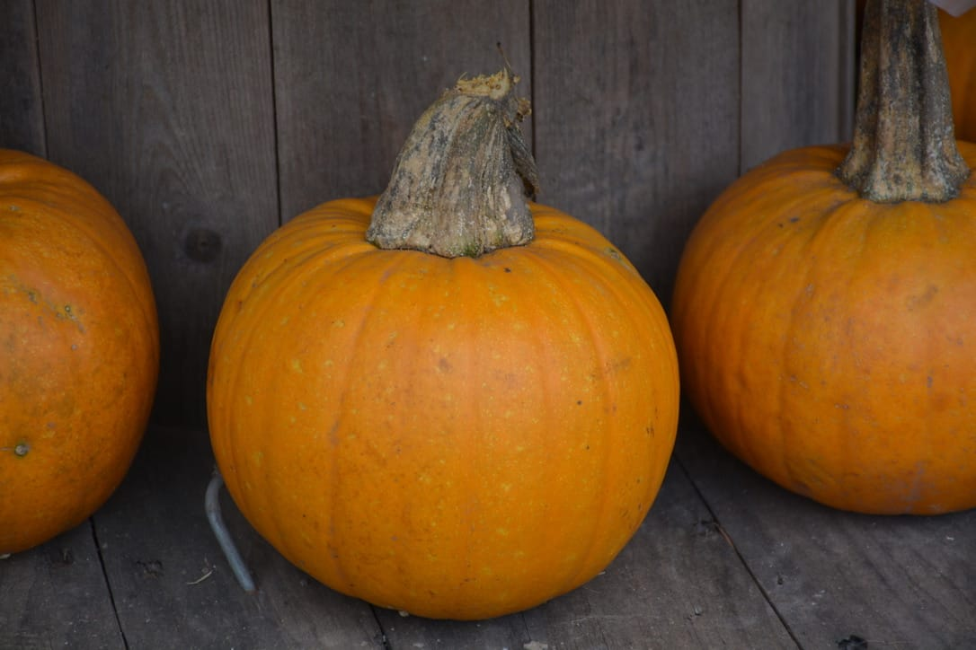 "Three ""Naked Bear"" pumpkins in a row at McNab's Corn Maze & Produce Farm"