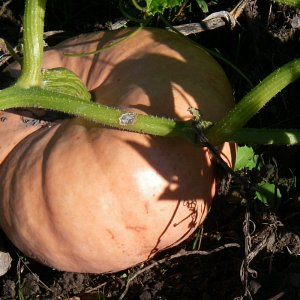 Close-up photo of a Porcelain Doll pumpkin grown at McNab's Corn Maze & Produce Farm
