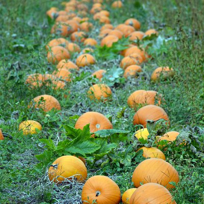 mcnabs-pumpkin-patch-05
