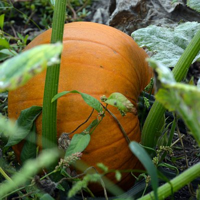 mcnabs-pumpkin-patch-06