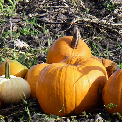 mcnabs-pumpkin-patch-10