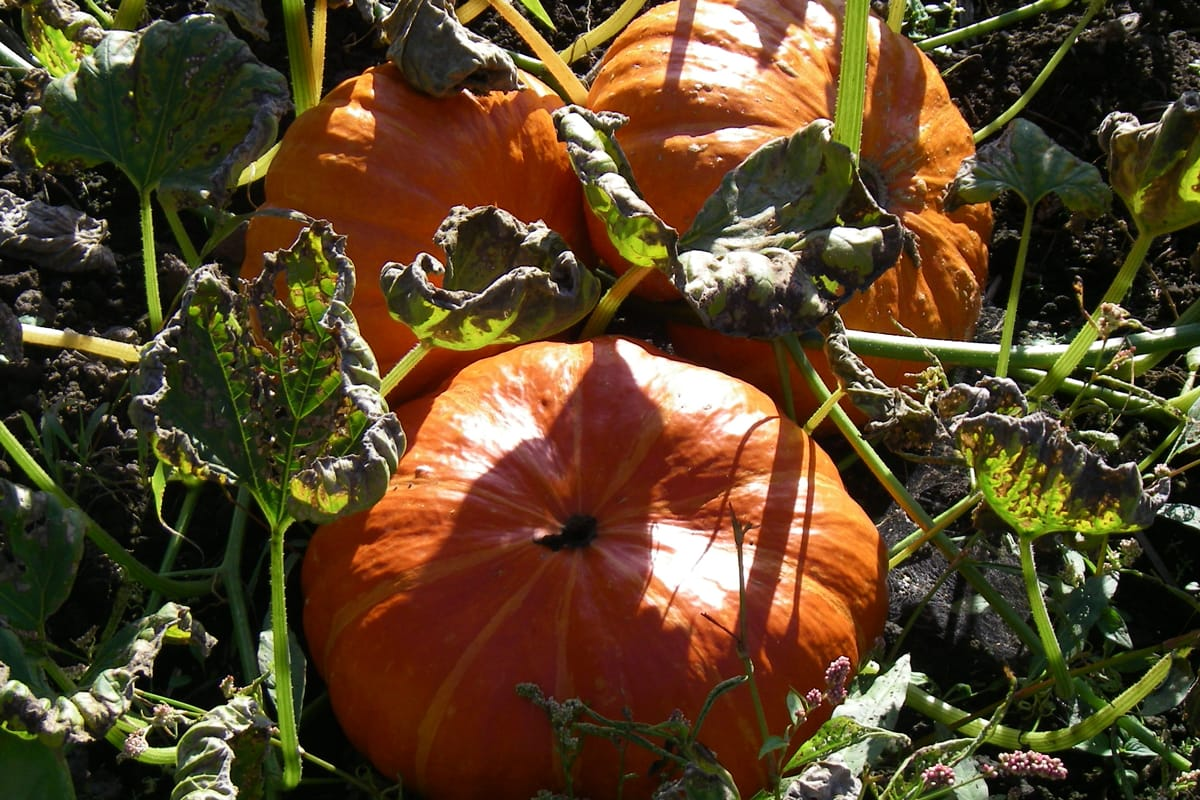 Three pumpkins of the Rouge Vif d'Etampes variety at McNab's Corn Maze & Produce Farm