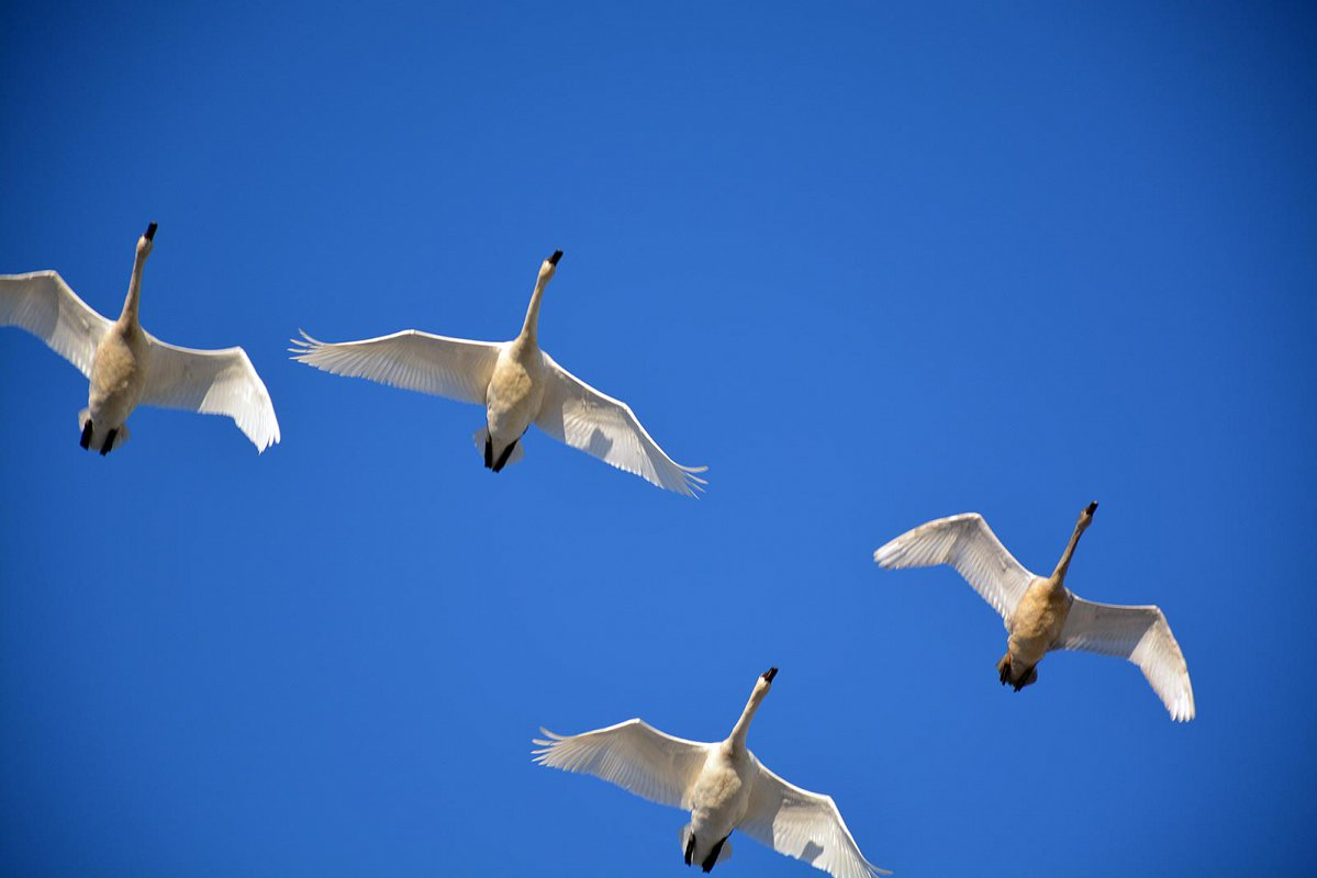 A flock of birds in a V formation flying South